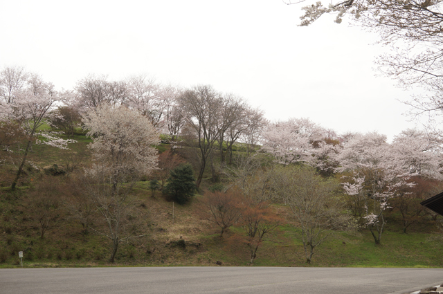 歌石駐車場から見えるそのまんま公園・城跡の桜