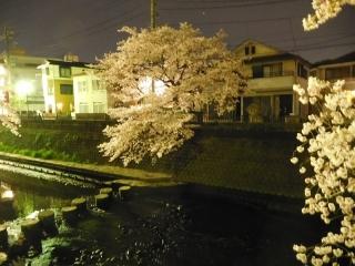 0410ookawasakura1.jpg