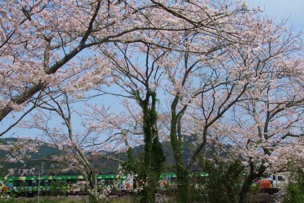 桜とアンパンマン列車