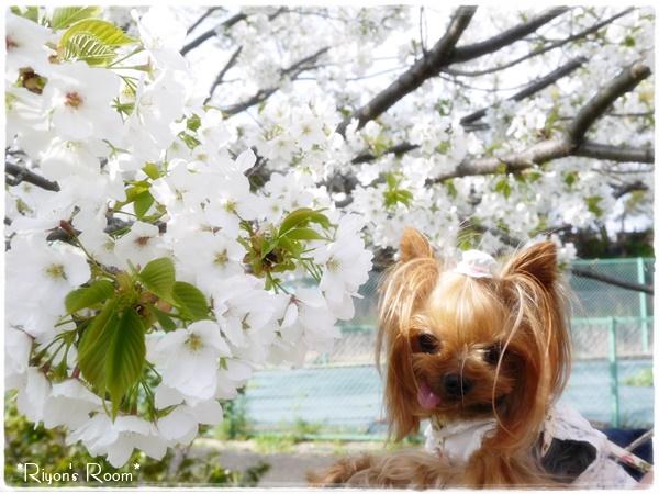桜とリフト③