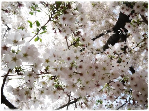 桜とリフト④