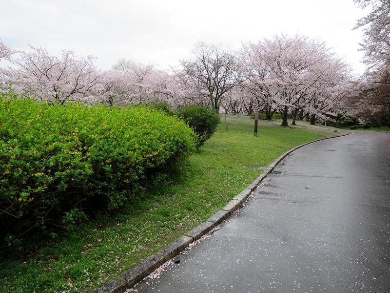 桜1170411