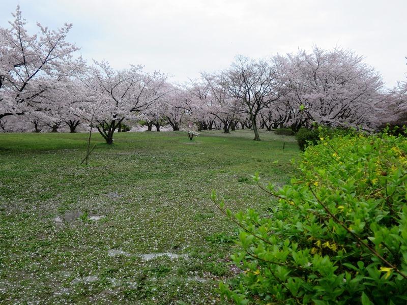 桜2170411