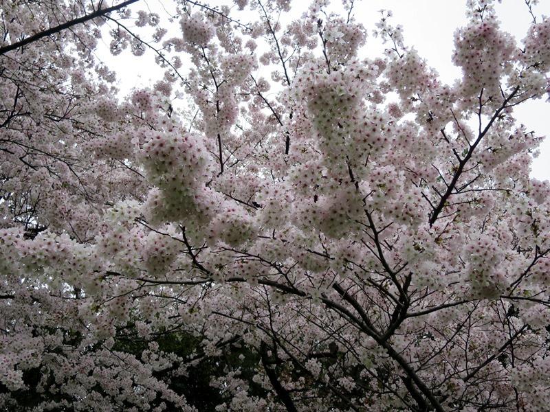 桜6170411