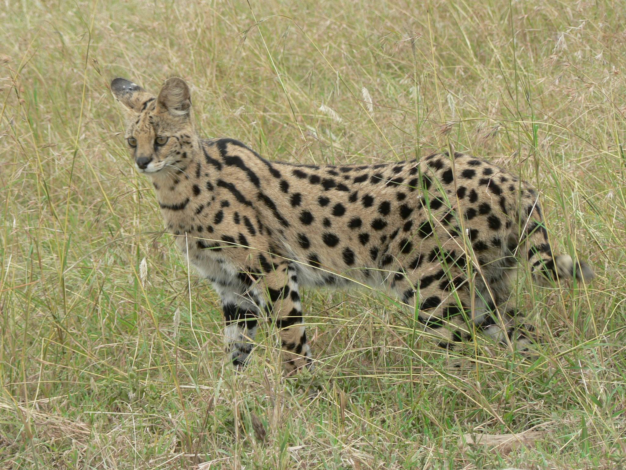 Serval_in_Tanzania.jpg