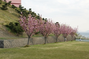 八重桜32