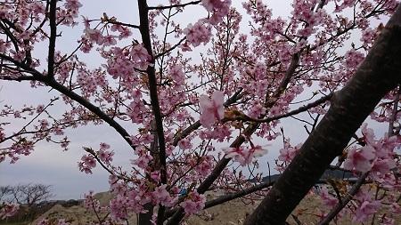 桜 2017.3.5-2