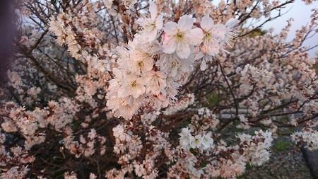 桜 2017.3.19-1