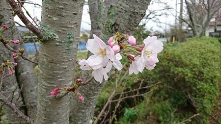 桜 2017.4.8