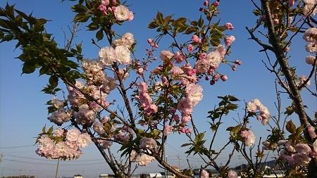 桜 2017.4.16-2