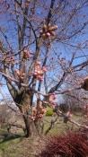 20170416桜