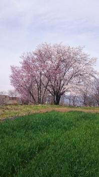 20170422桜