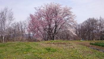 20170422桜満開