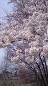 20170422桜満開1