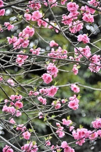 Hanamomo Peach Flowers