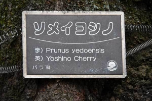 Yoshino Cherry