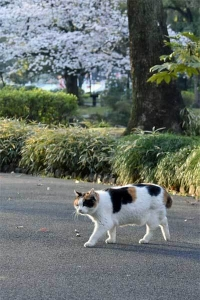 Sakura-chan The Cat