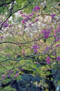 Chinese Redbud against Sakura