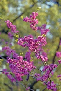 Chinese Redbud against Green