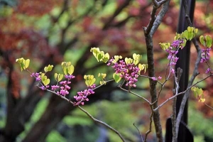 Chinese Redbud against Spring Maple