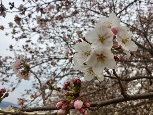 河川敷の桜3