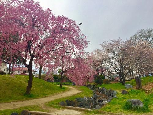 散歩道のしだれ桜