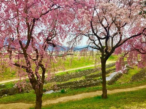 河川敷の桜6