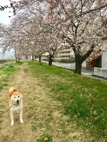 散歩道の桜1