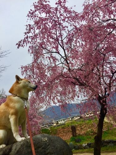 河川敷の桜9