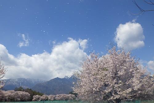 真原桜並木2