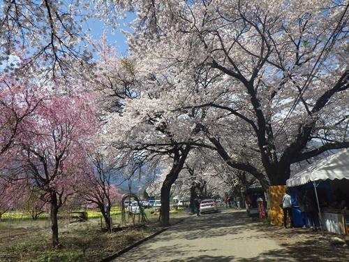 真原桜並木3