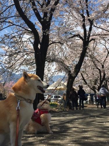 真原桜並木6