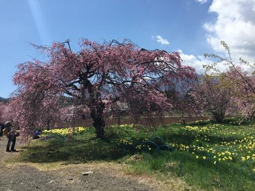 真原桜並木10