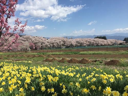 真原桜並木15