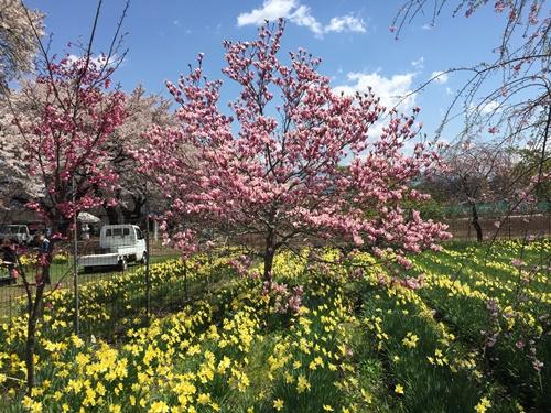 真原桜並木9