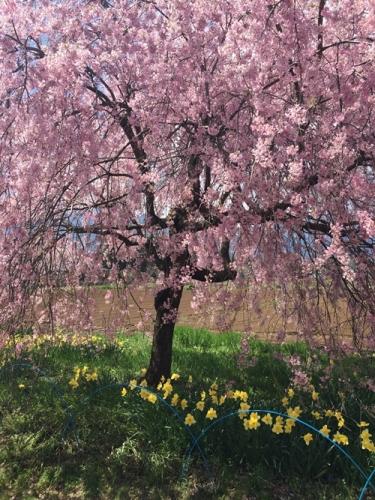 真原桜並木12