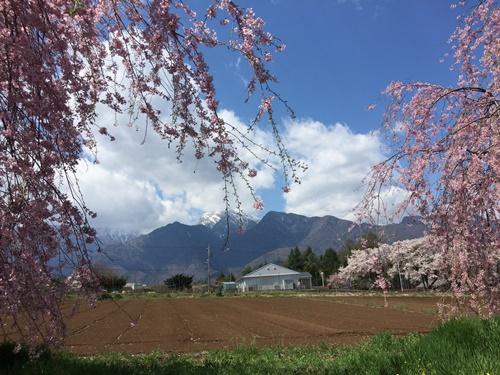 真原桜並木19
