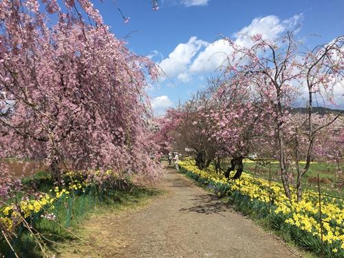 真原桜並木18