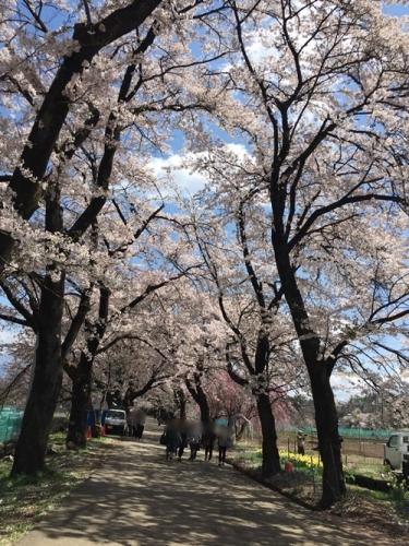 真原桜並木23