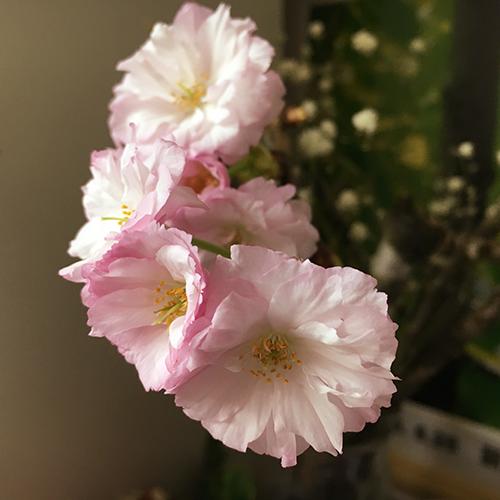 かわいい八重咲き桜