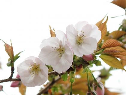 2017工房桜5