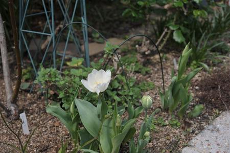 tulip20170409-4.jpg