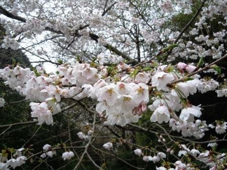 桜1(2017‐04‐07)