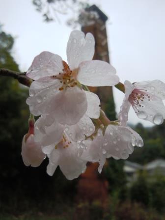 桜5(2017‐04‐09)