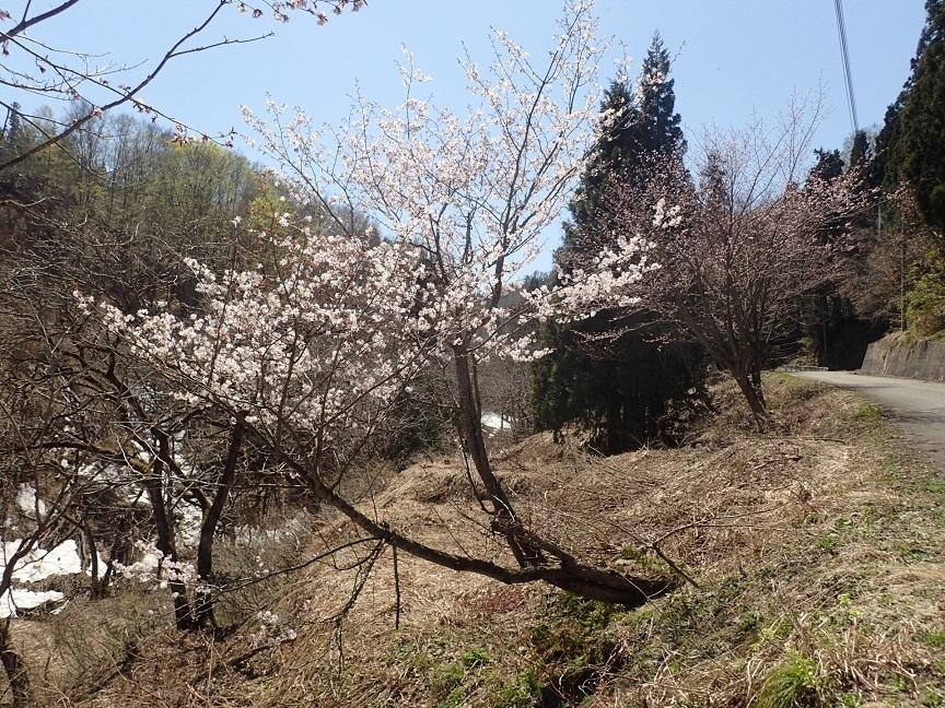 岩沢川さくら
