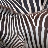 シマウマの縞pixabay