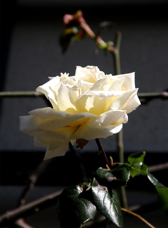 3月9日のバラ(5)