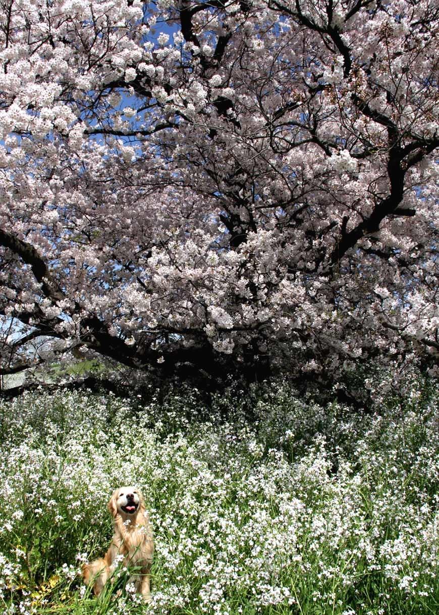 ヒットと桜 20170412 (10)