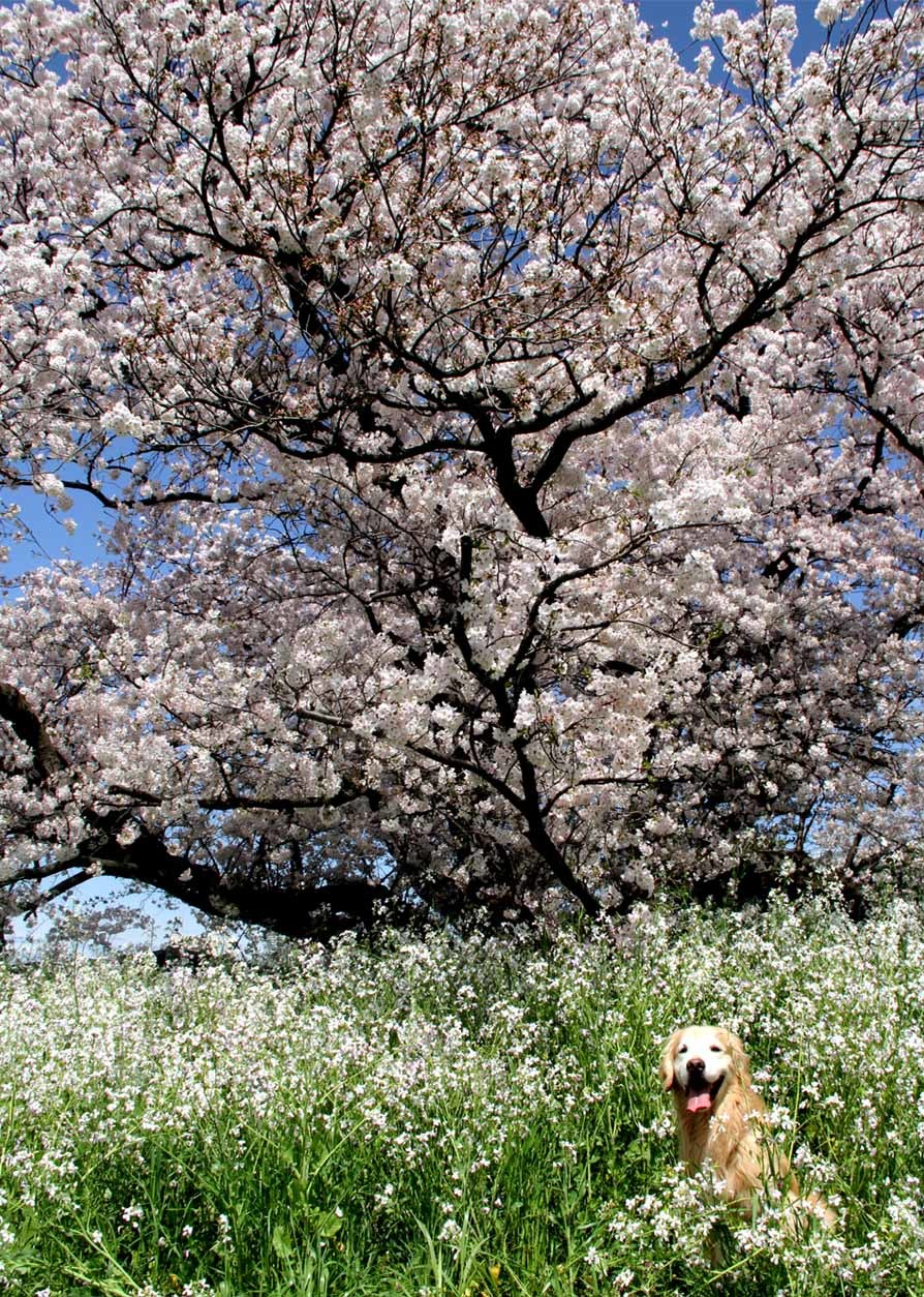 ヒットと桜 20170412 (12)