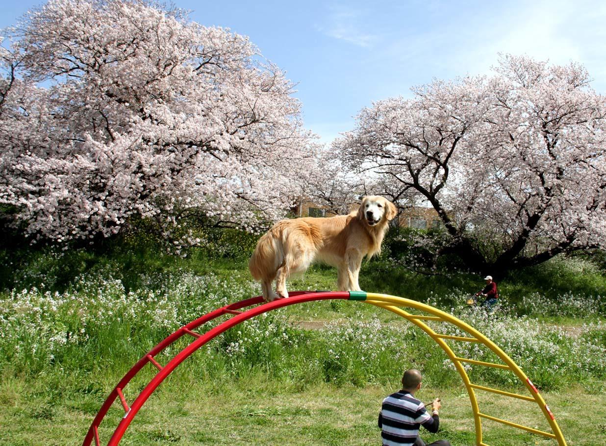 ヒットと桜 20170412 (19)